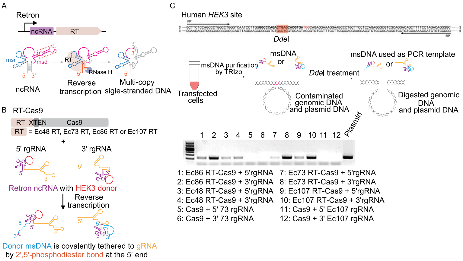 Confirmation of the suitability of retron editing system for mammalian genome editing
