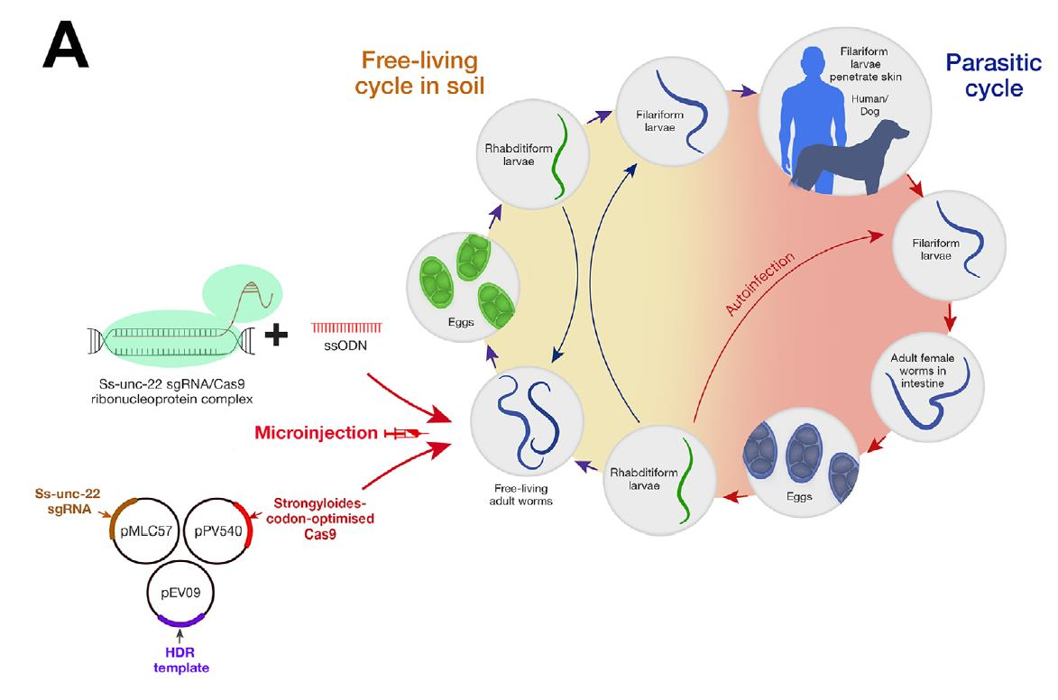 A review on CRISPR/Cas9 system for the research and control of helminth parasites