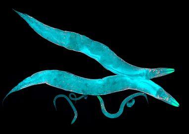 A neurotransmitter produced by gut bacteria modulates host sensory behaviour