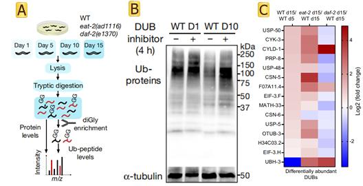Role of ubiquitination in the aging process of Caenorhabditis elegans
