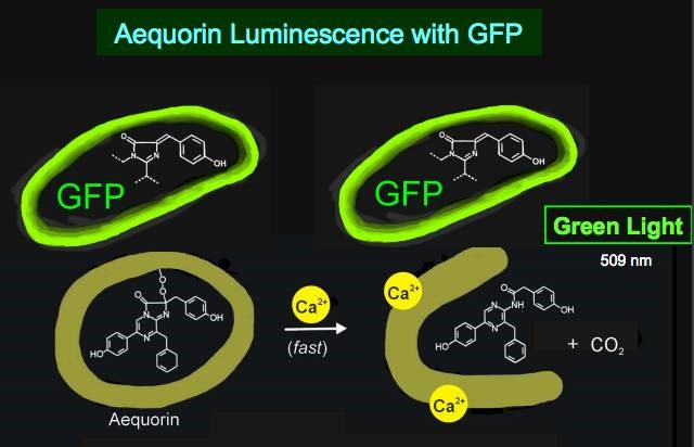 Fluorescent proteins, a powerful tool for C. elegans research
