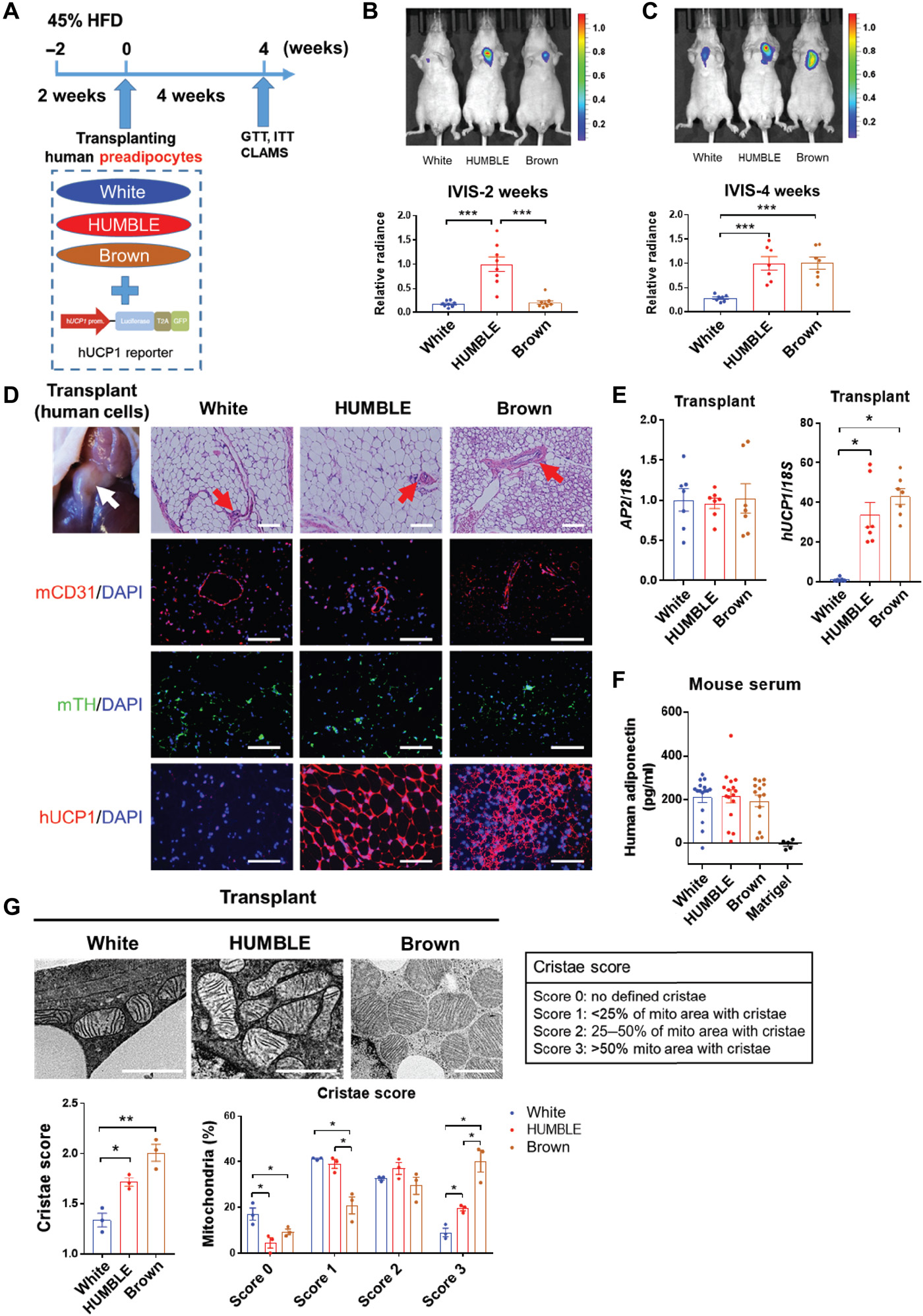CRISPR-engineered human brown-like adipocytes prevent diet-induced obesity and ameliorate metabolic syndrome in mice