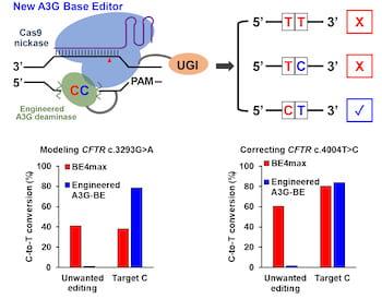 A3G-BEs-an enhanced CBEs avoiding 'Bystander' cytosines