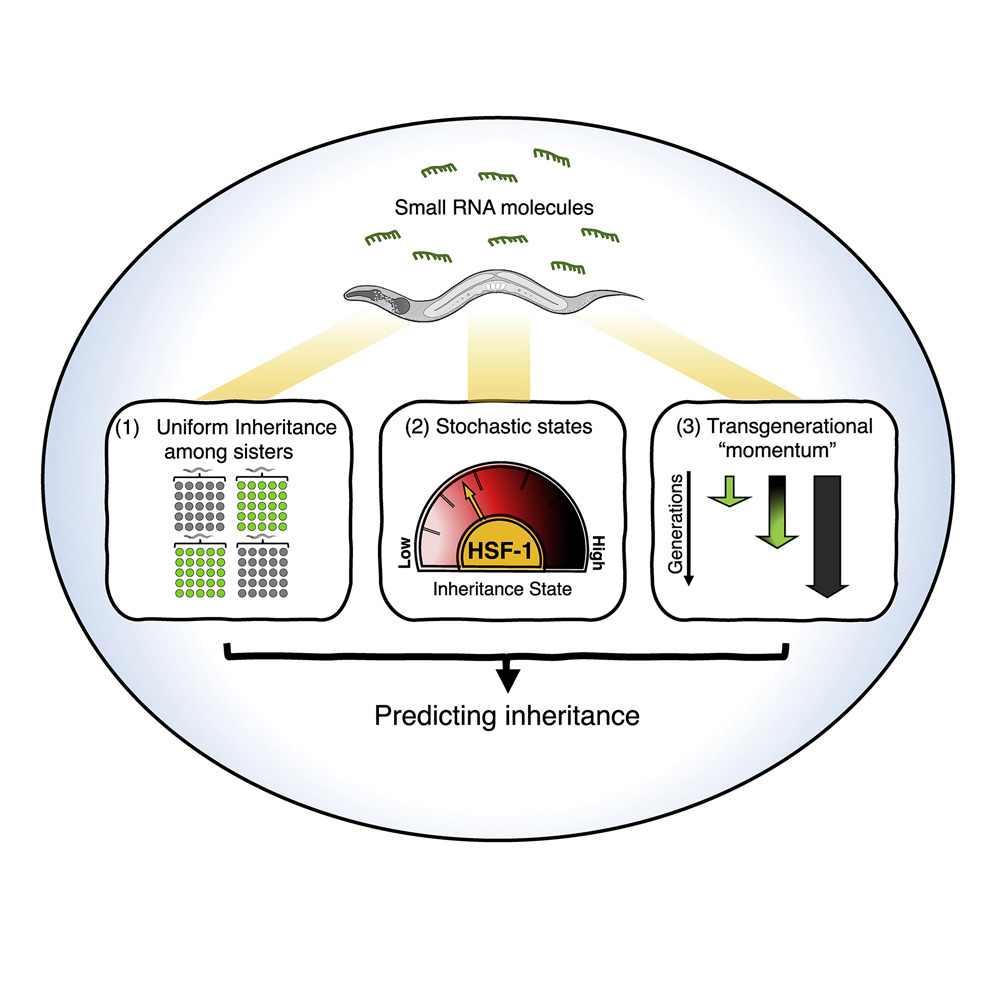 Three Rules Explain Transgenerational Small RNA Inheritance in C. elegans