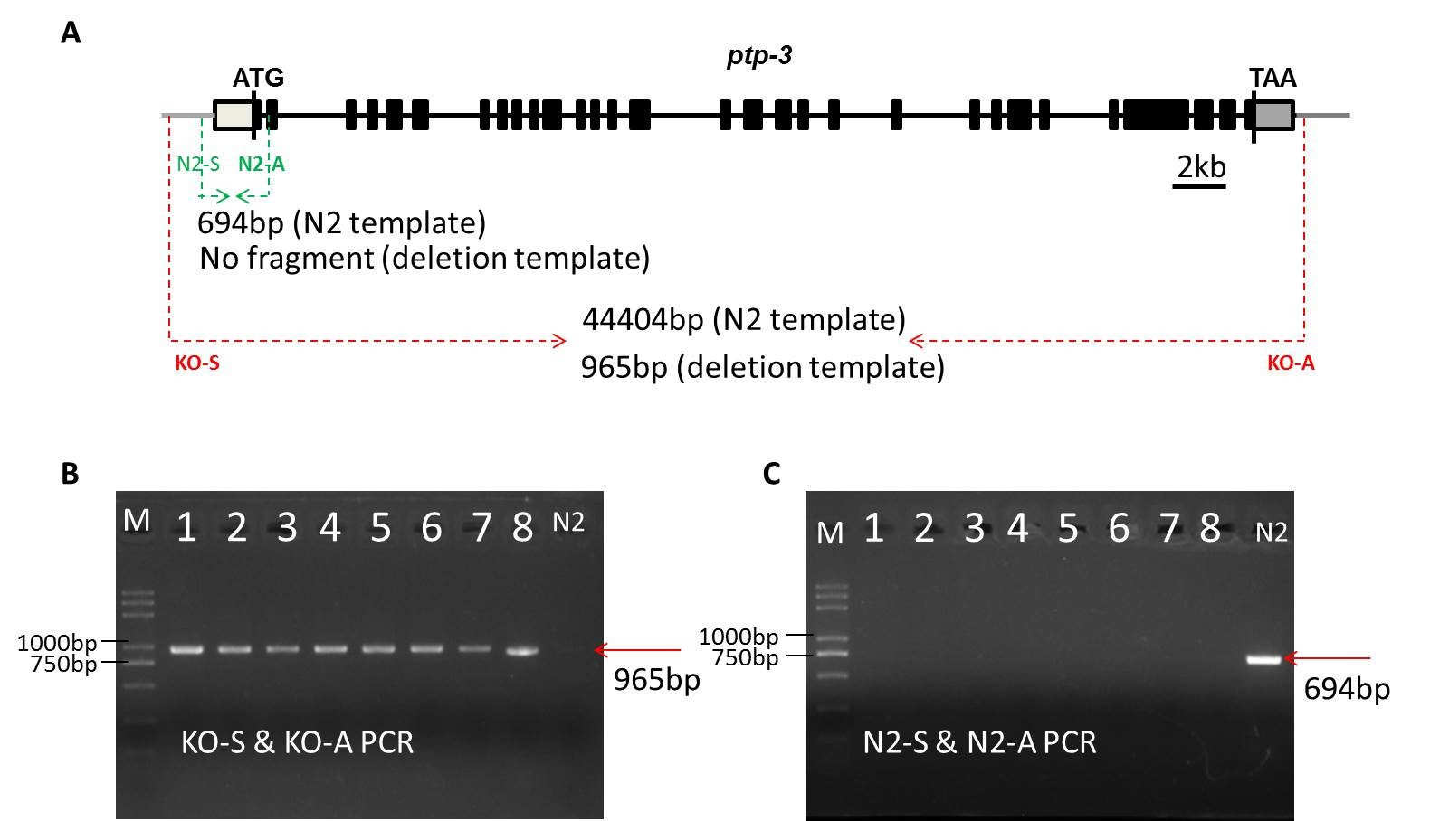 Breakthrough| SunyBiotech Knockout 43kb Genomic DNA in C.elegans