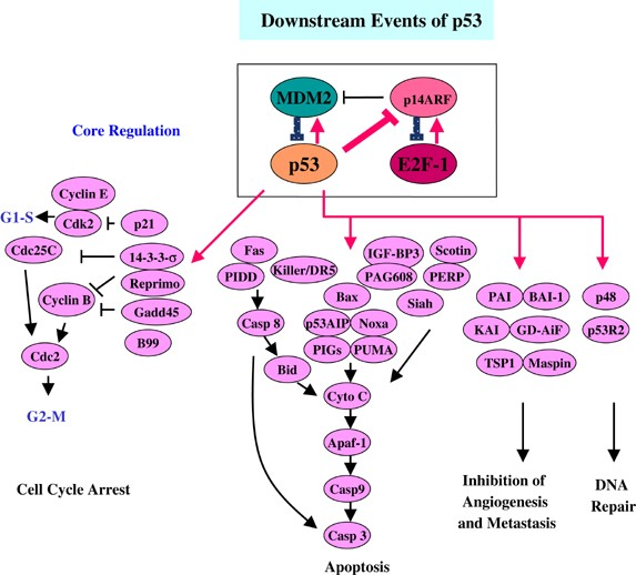 Cas9 activates the p53 pathway and selects for p53-inactivating mutations